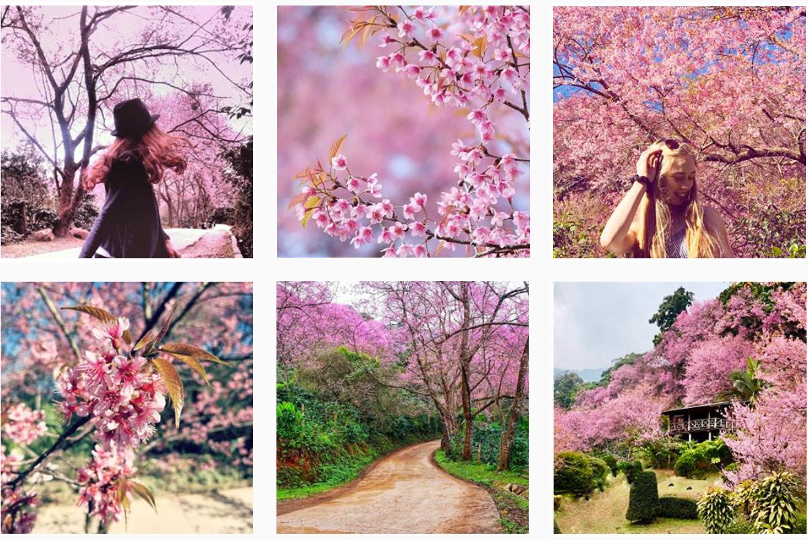 Цветение сакуры в Чиангмае