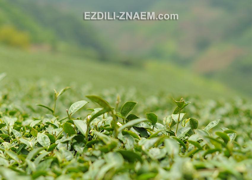 На фото: чайные плантации Мэ Салонг