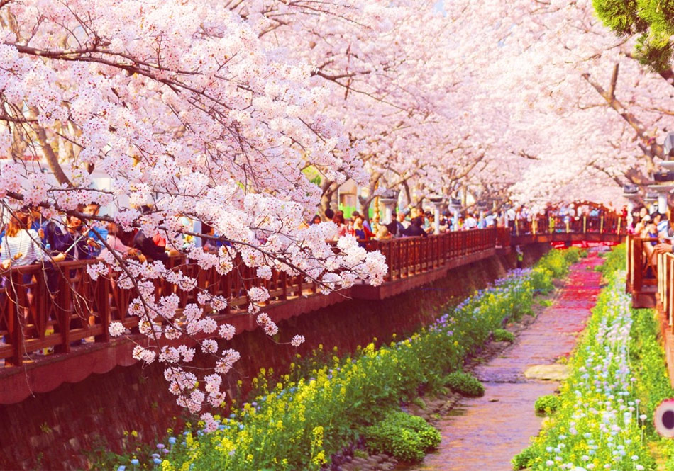 Цветение сакуры в Корее