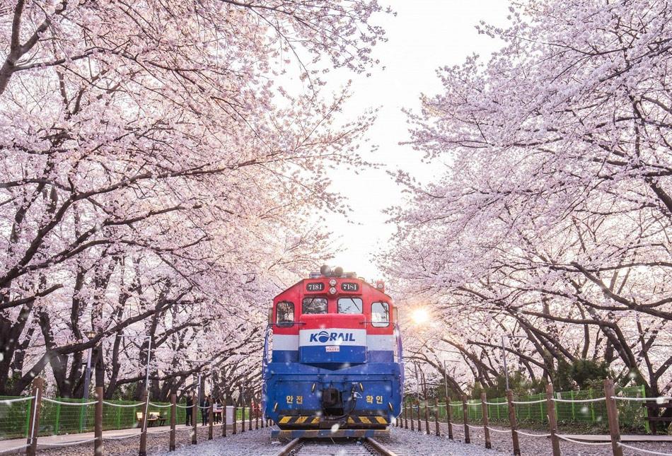 Едем смотреть цветение сакуры. Поезд Korail Чинхэ