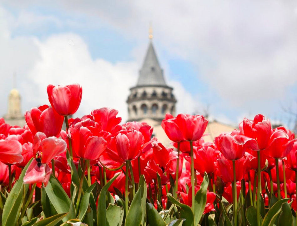 Стамбул в апреле: тюльпаны на фоне Галатской Башни