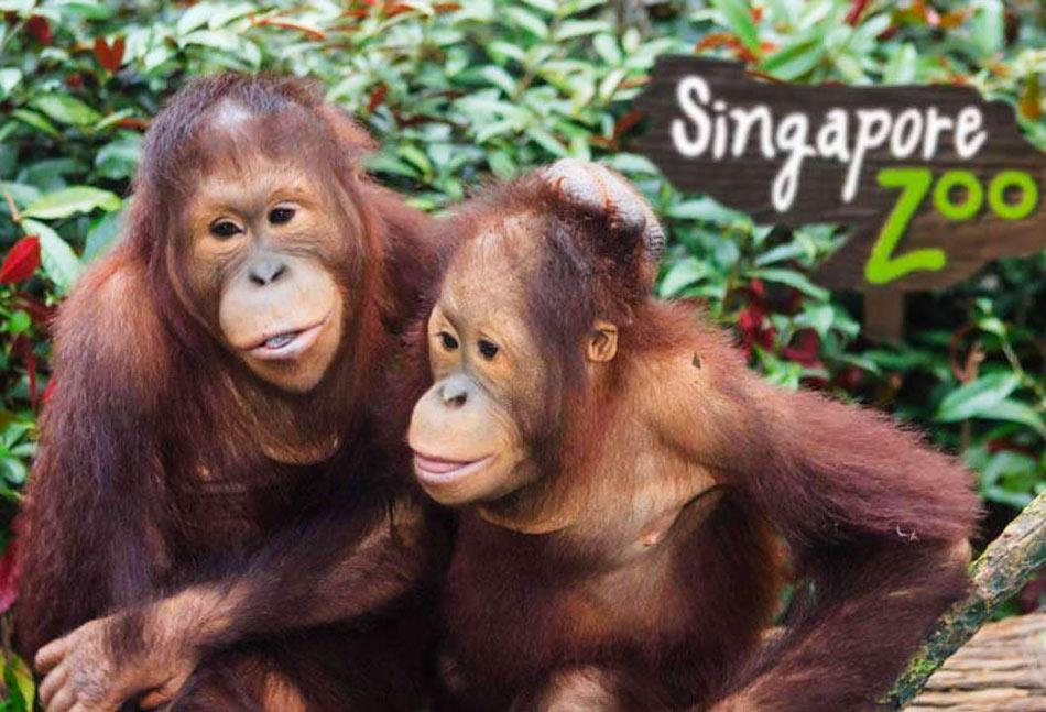 Орангутанги в зоопарке Сингапура