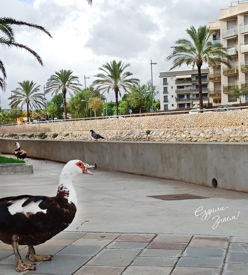 На улицах Калафеля гуляют гуси
