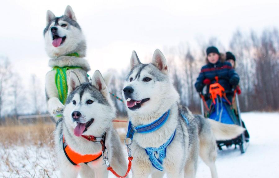 Отдых на Алтае зимой: катание на упряжке с хаски