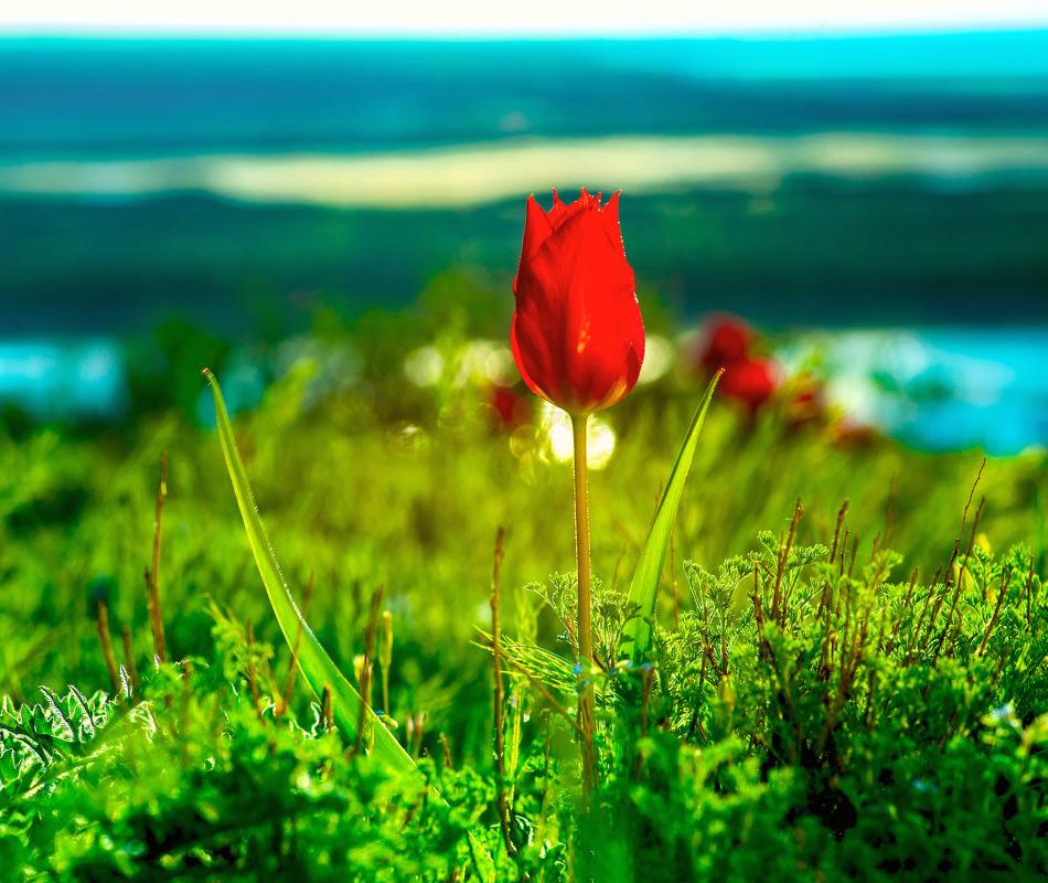 Тюльпан Геснера на побережье озера Эльтон. Фото: Павел Сытилин