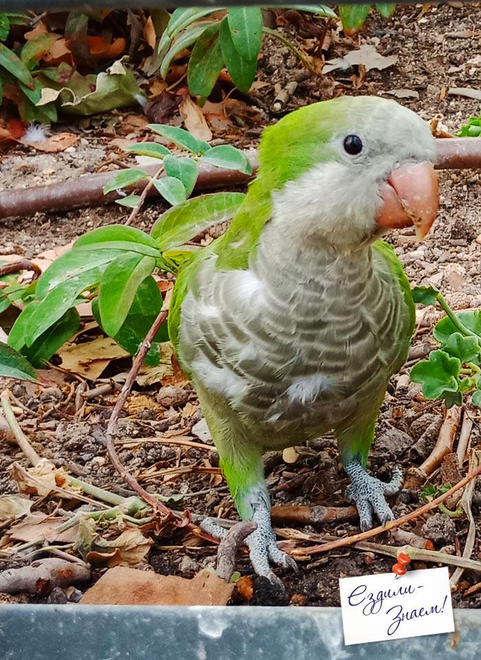 Зеленый попугайчик в парке Каса де Кампо, Мадрид