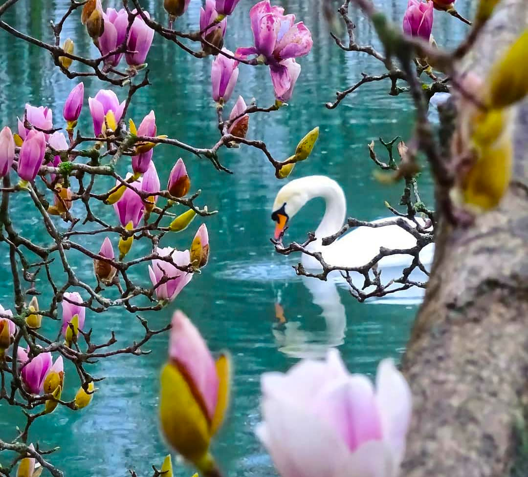 Лебеди в парке